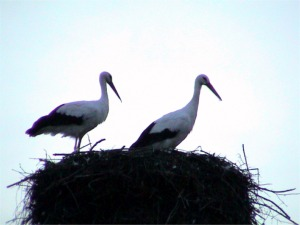 White Stork of Alsace