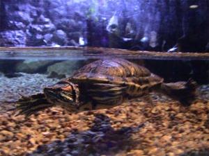 une tortue marine