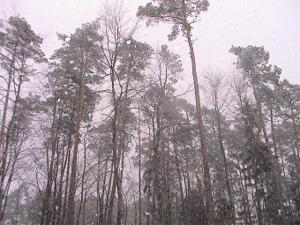 Haguenau trees