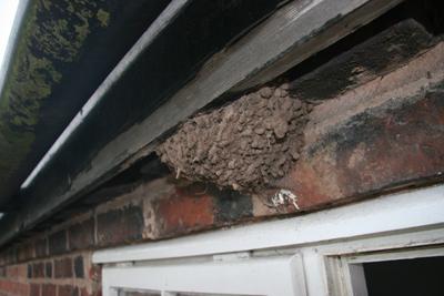 housemartin nest