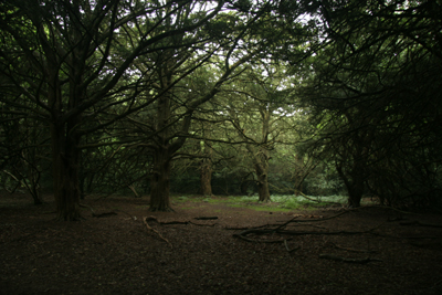 Yew Grove on Boxhill