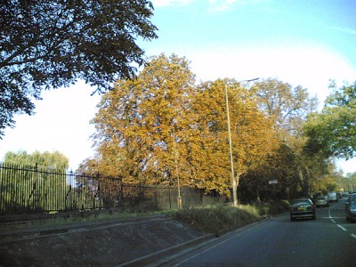 Yellow leaves of Horse Chestnut