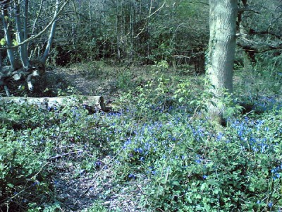 Bluebells in Toy's Hill